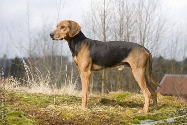 Русская гончая (пегая): фото собаки, содержание, уход и описание породы