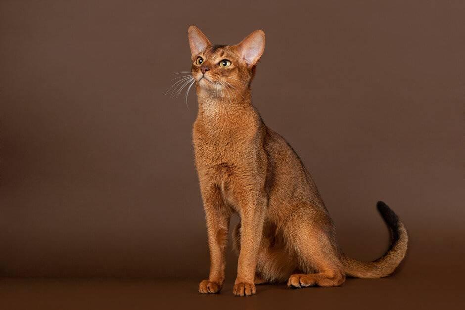 Характер абиссинской кошки: повадки породы и особенности