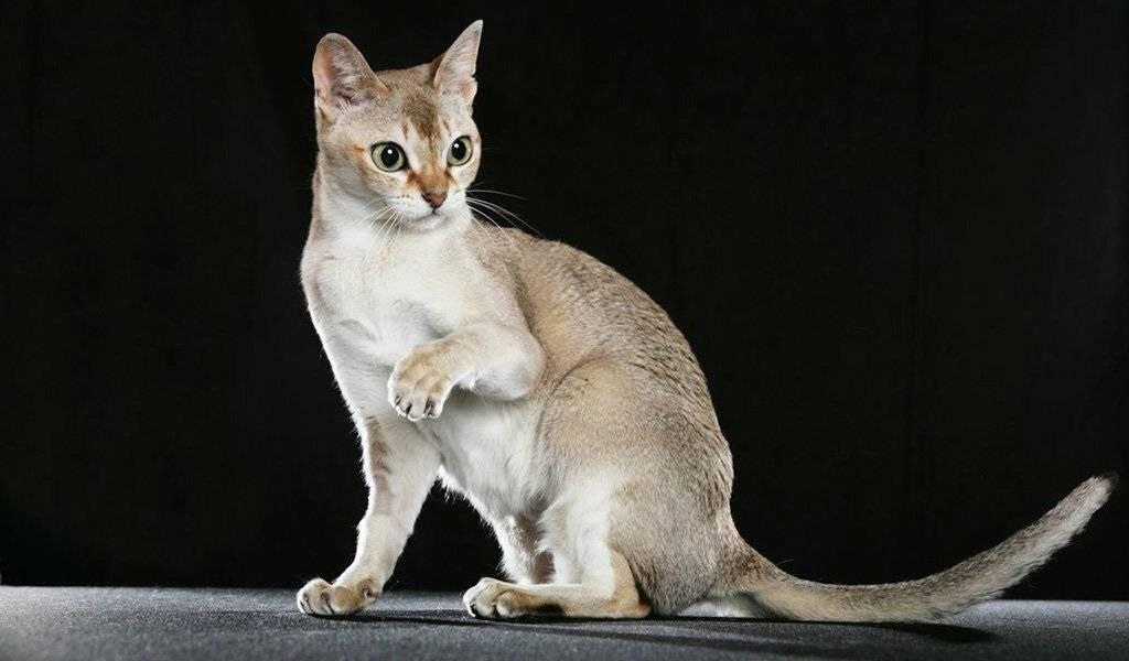 Цейлонская кошка: происхождение и уход в домашних условиях