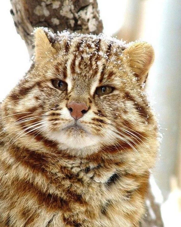 Амурский лесной кот: описание, образ жизни и статус популяции