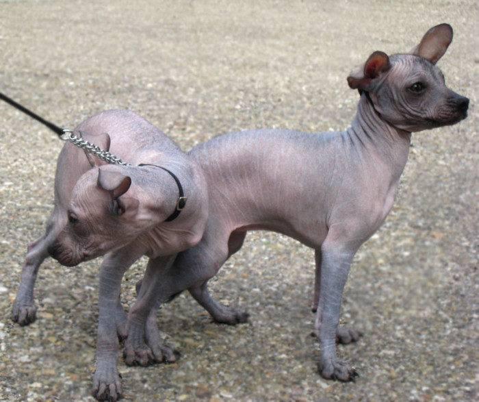 Чешский терьер: внешний вид породы, особенности ухода и содержания, советы по выбору щенка (+ фото)