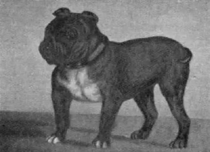 Вымершие породы собак: каких псов уже не существует