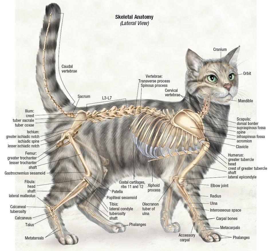 Анатомия кошки: особенности внутренних органов