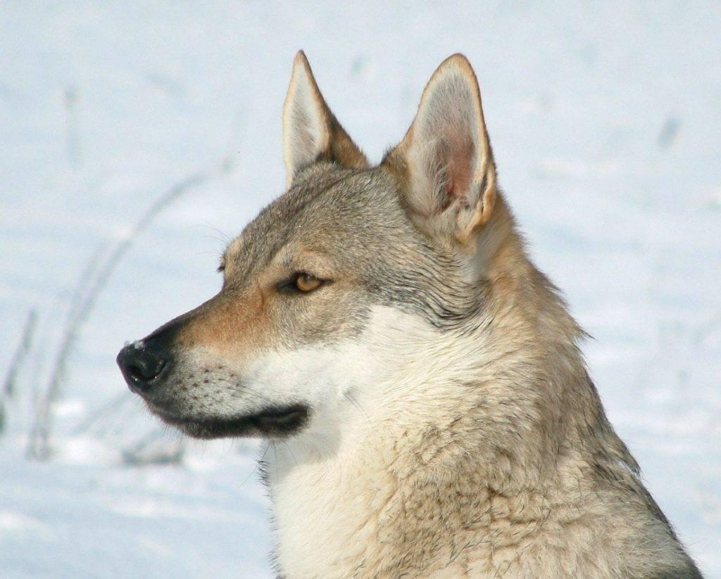 Чехословацкий влчак или волчья собака