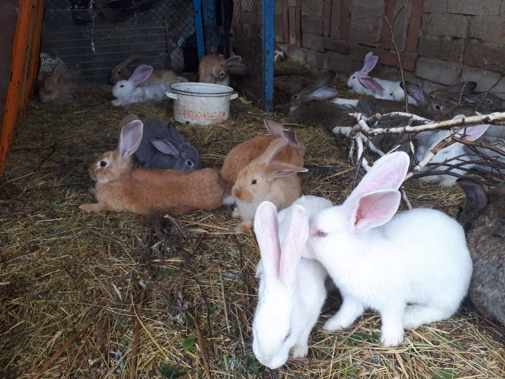 Новозеландский белый кролик (нзб): описание породы, вес по месяцам, разведение в домашних условиях