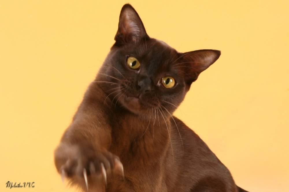 Бурманские кошки: описание породы, разнообразие окрасов и правила содержания