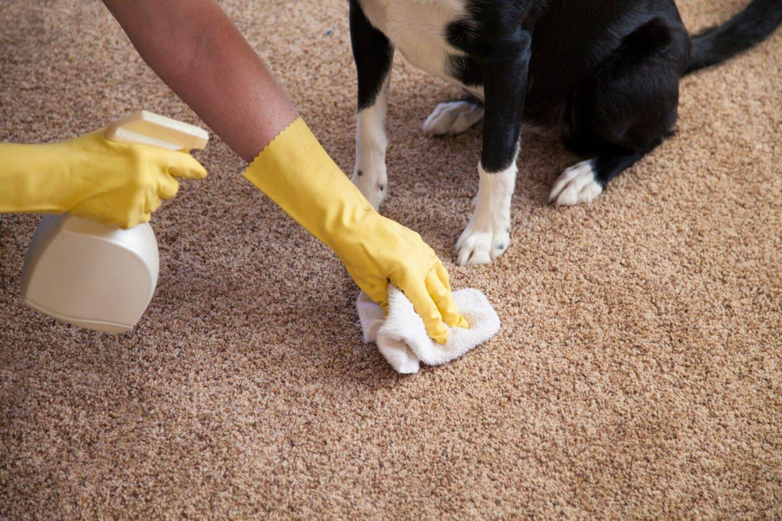 Узнайте, как избавиться от запаха собачьей мочи в квартире, на ковре и диване