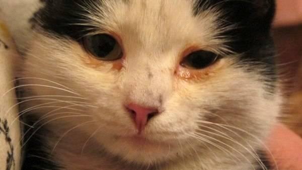 Кошка чихает и слезятся глаза — чем лечить?