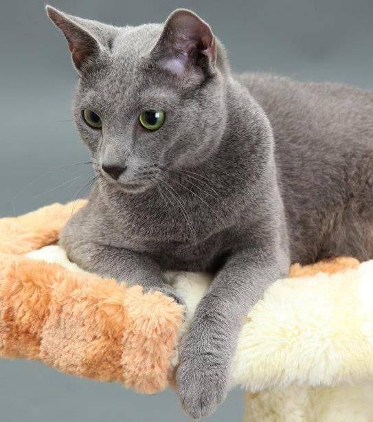 Где купить русскую голубую кошку - цена, питомники в россии, в москве, в спб, в минске, в екатеринбурге, ярославль, новосибирск, в самаре, в челябинске