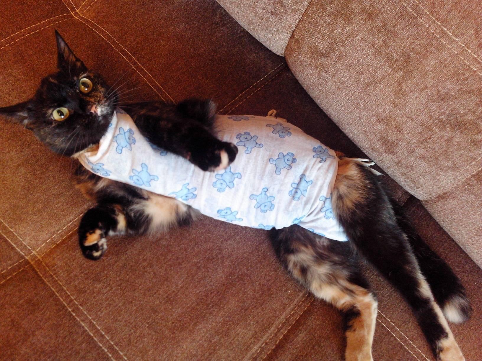 Шов после стерилизации кошки, как ухаживать?