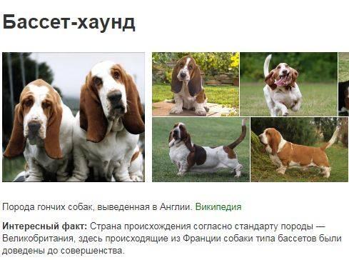 Бассет-хаунд — описание породы и характер собаки