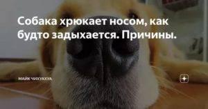 Почему собака хрюкает, хропит носом, как будто подавилась, хрипит и задыхается, часто дышит, как будто чихает, периодически издает хрюкающие звуки