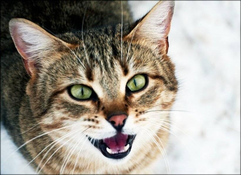 Кошка орёт без причины по ночам: что делать, не даёт спать?