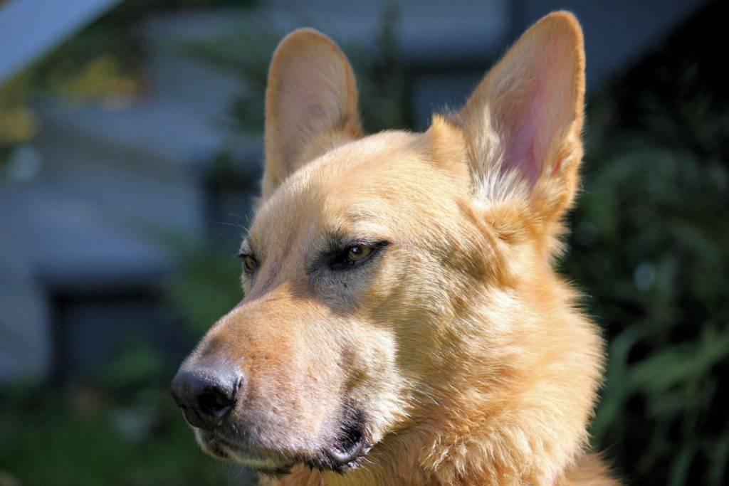 Чинук: описание породы собак с фотографиями и видео