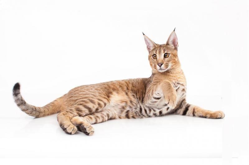 6 пород домашних кошек, похожих на рысь: фото и описание