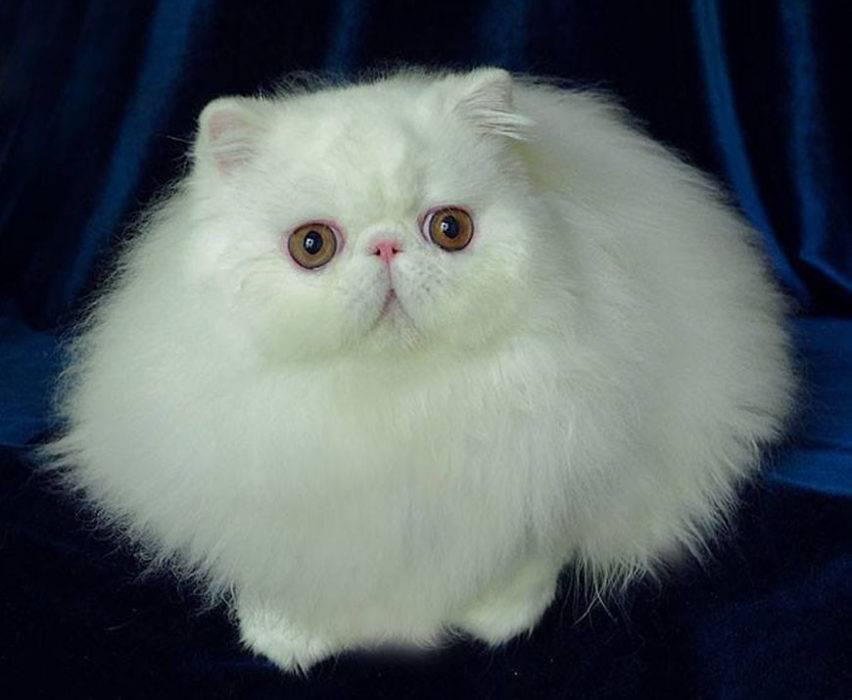 Породы котов с большими глазами — сравнительная характеристика