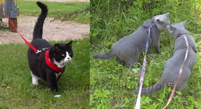 Прогулки с кошкой, как одеть ошейник и поводок