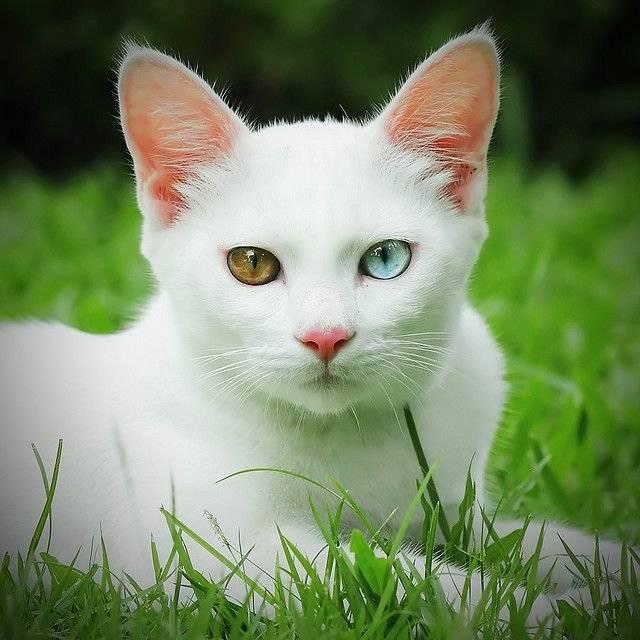 Као мани (39 фото): особенности этой породы кошек, описание внешности тайских котов. как определить здоровых котят?