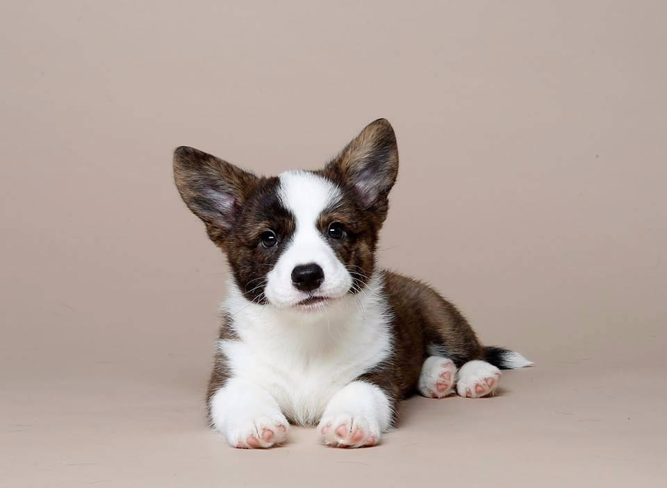 Вельш-корги-кардиган: характер собак и описание породы по стандарту с фото щенков и отзывами владельцев