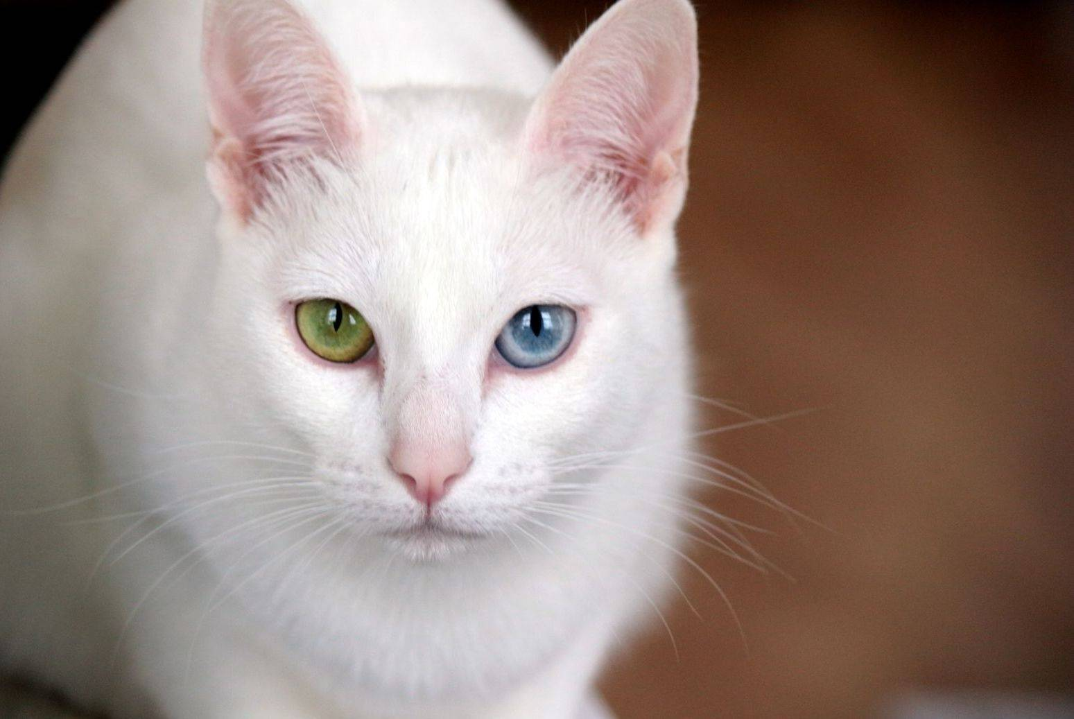 Као-мани порода кошек, описание и 15 фото, цена котёнка