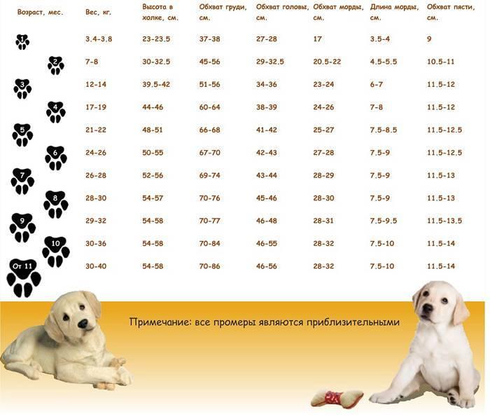 Вес лабрадора: размеры взрослой собаки и щенка по месяцам и какие параметры должен иметь питомец в 2, 3, 4, 5, 6 месяцев и в 1год