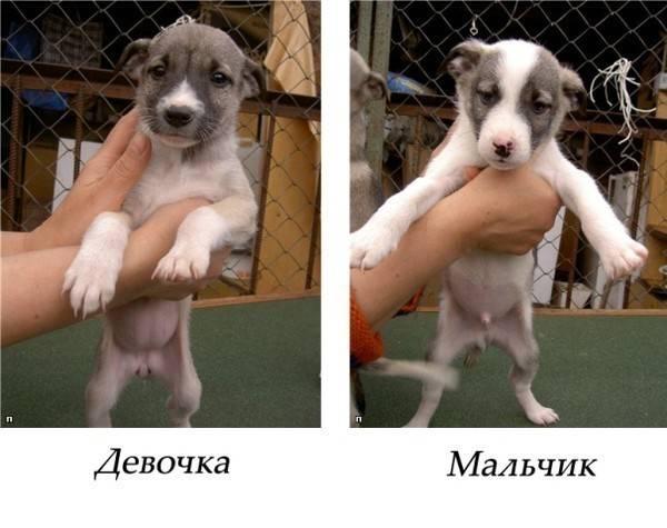 Как определить пол щенка: при рождении, в 1 или 3 месяца, по внешним признакам
