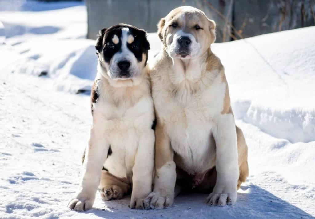 Клички для алабая: красивые и забавные имена, которыми можно назвать щенка и взрослую собаку