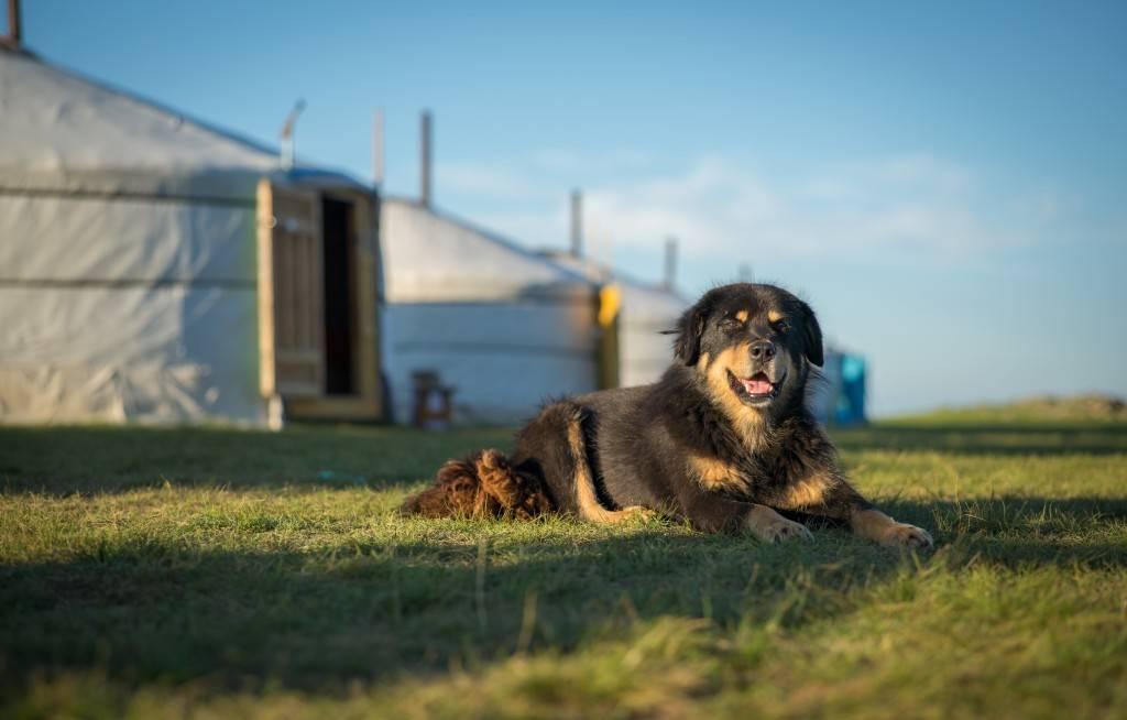 Характеристика собак породы бурят-монгольский волкодав с отзывами и фото