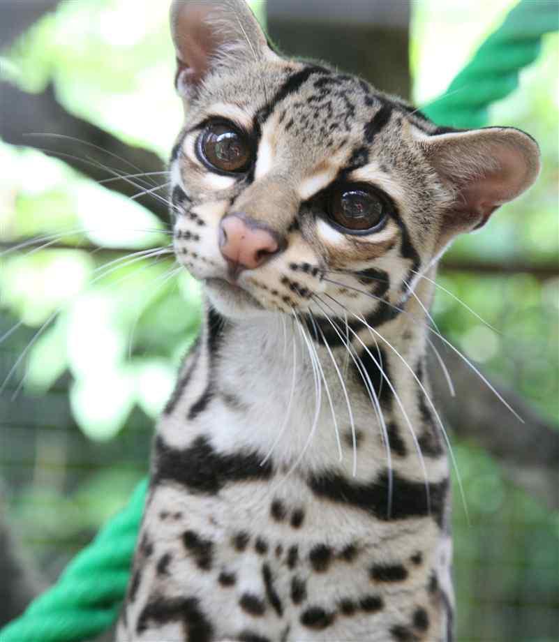 Кот с большими глазами: названия и описание большеглазых кошачьих пород с фото