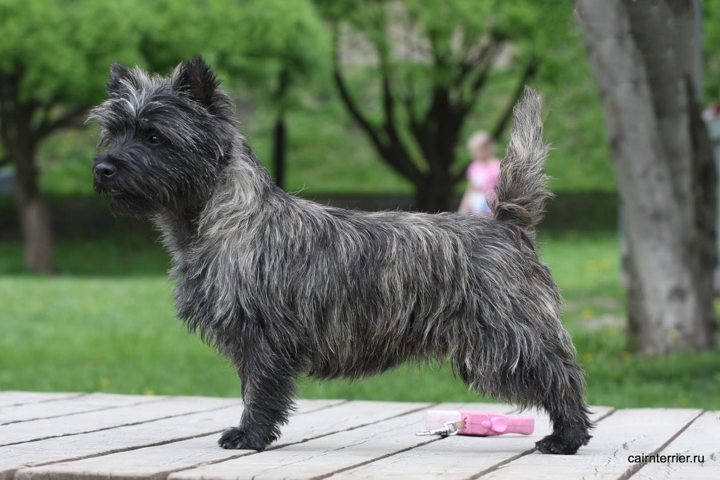 Керн-терьер: все о собаке, фото, описание породы, характер, цена