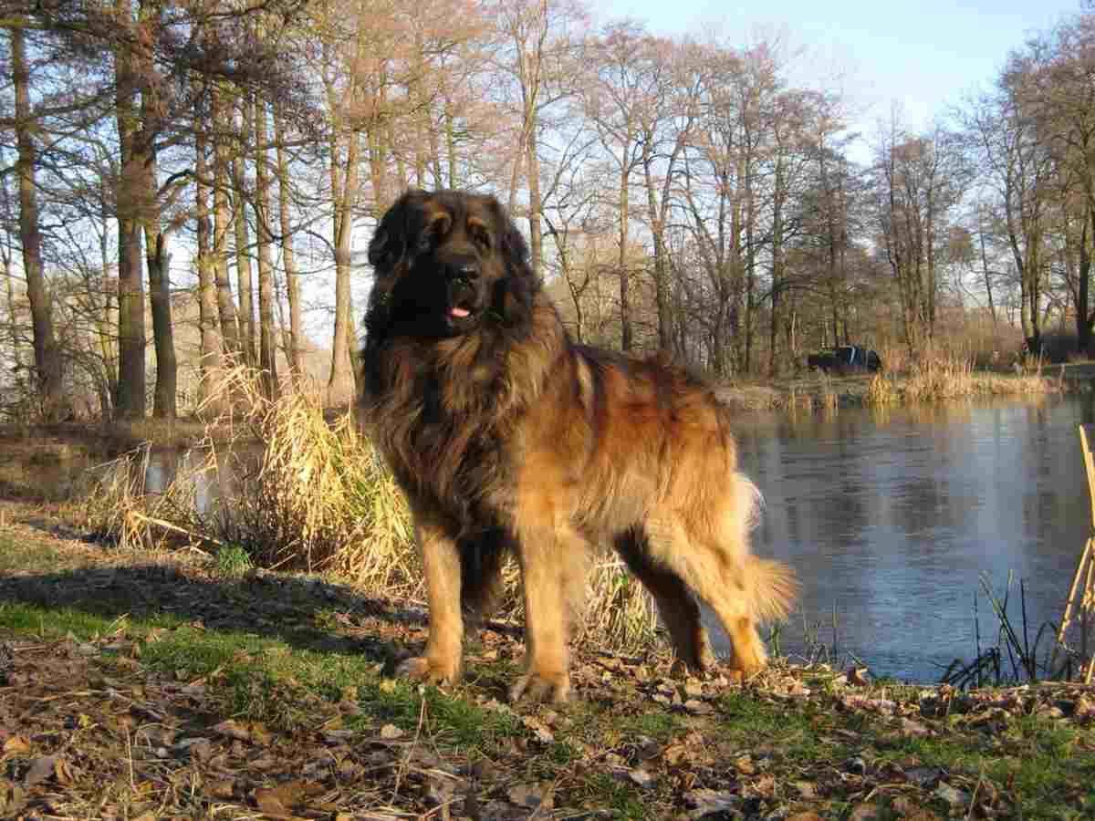 Какую собаку лучше завести для охраны частного дома | pro100security