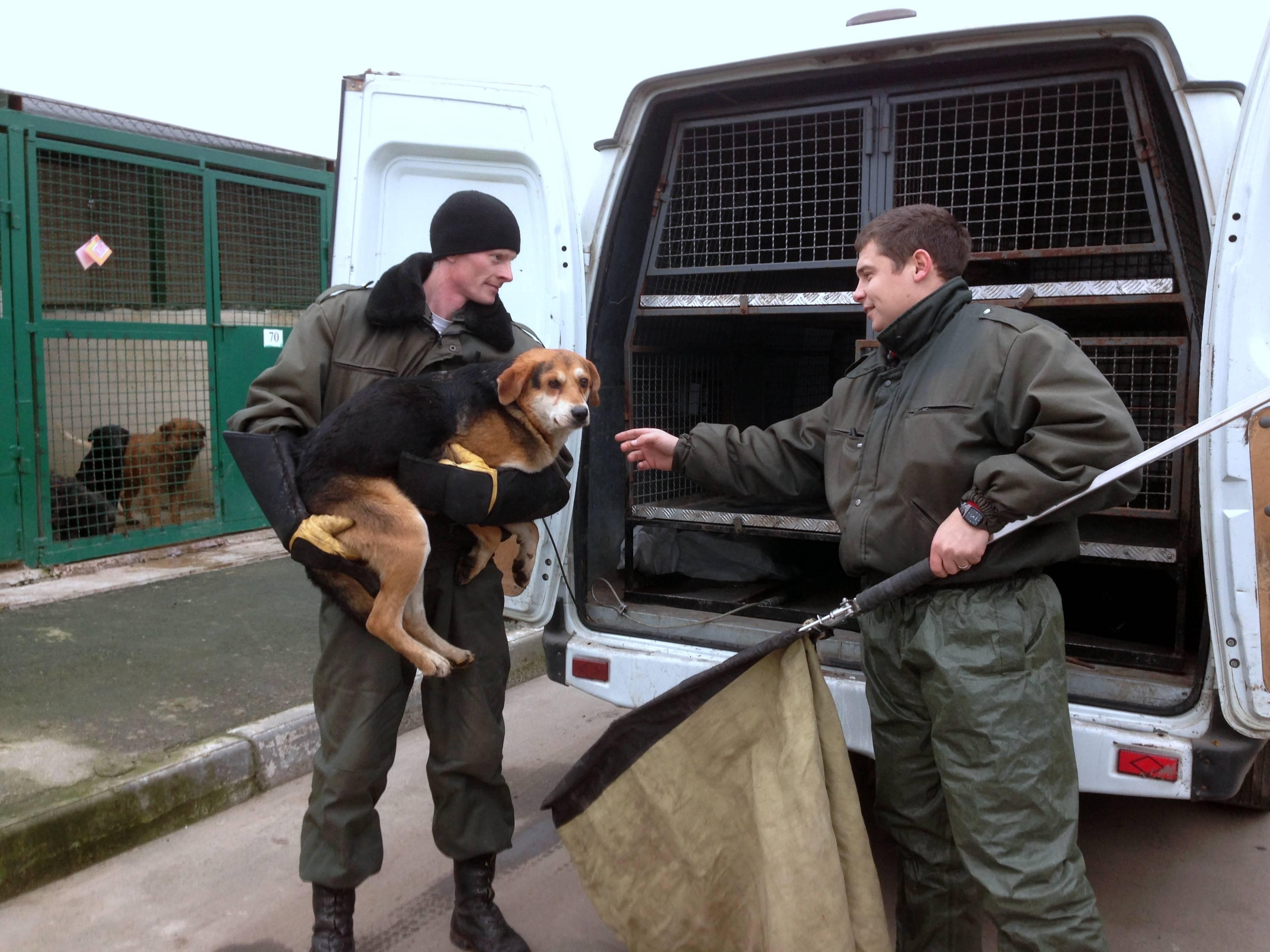 Не рычать, а помогать. челябинский зоозащитник – об отлове бездомных собак