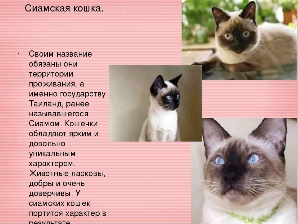 Содержание сиамской кошки – советы и рекомендации
