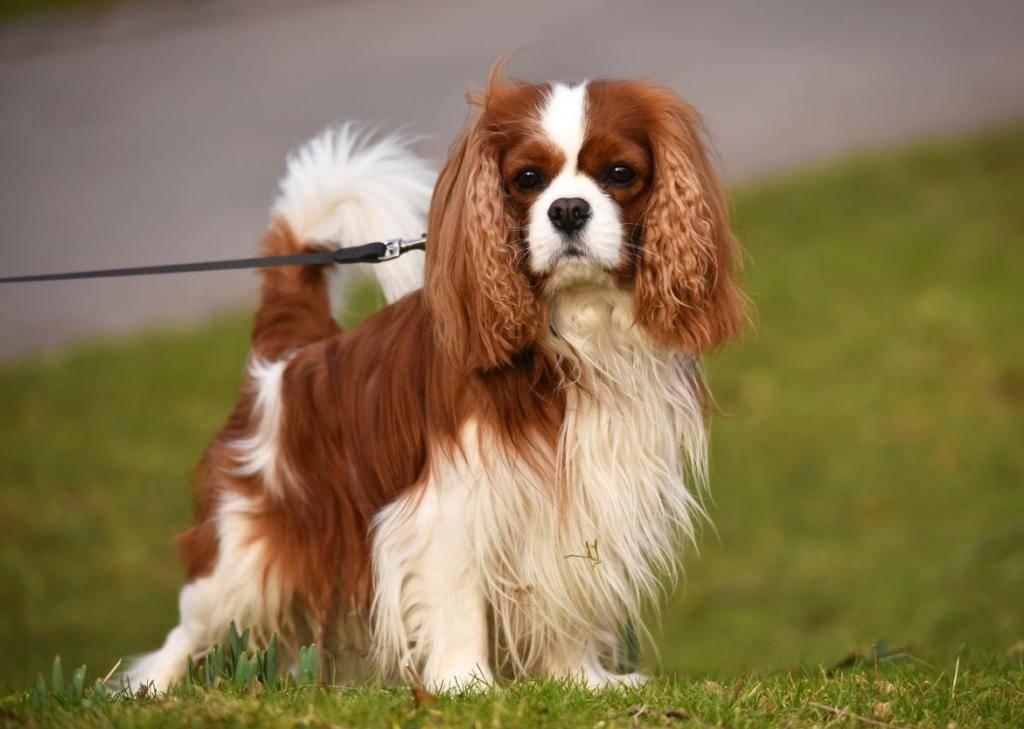Английские породы собак, любимые у британцев