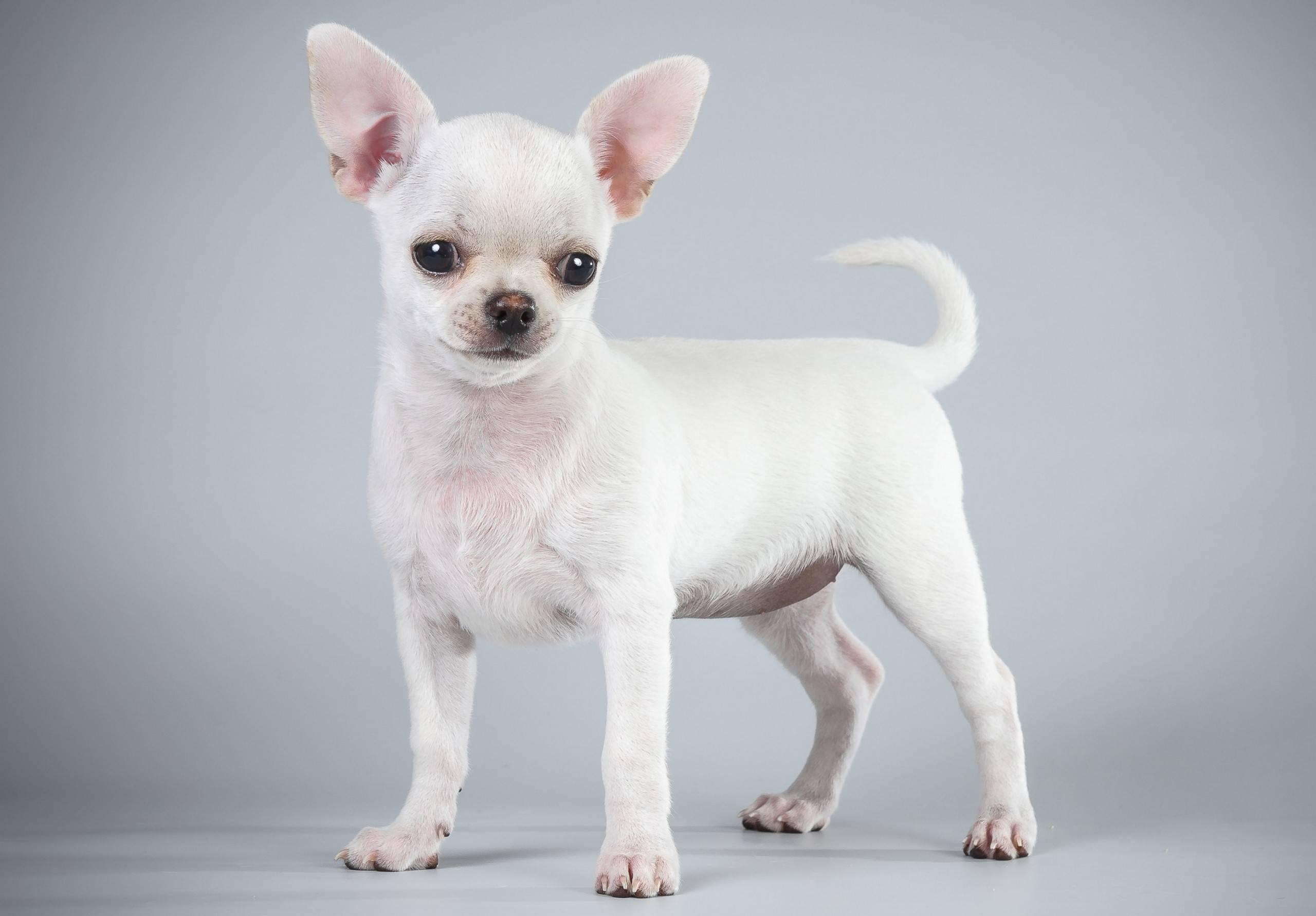 Обзор и описание маленьких пород собак