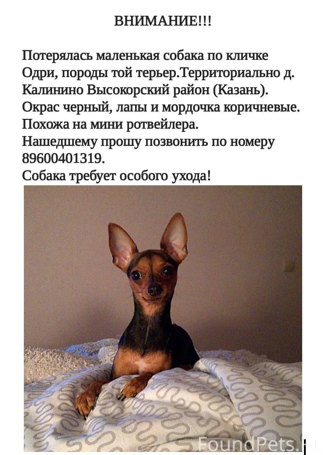 Русский той-терьер, описание породы, характер, уход, фото, видео