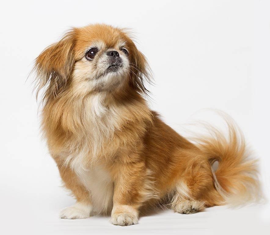 Пекинес - 140 фото собаки. подробный обзор породы от а до я! характер, описание породы, дрессировка, цена щенков, плюсы и минусы породы, окрас