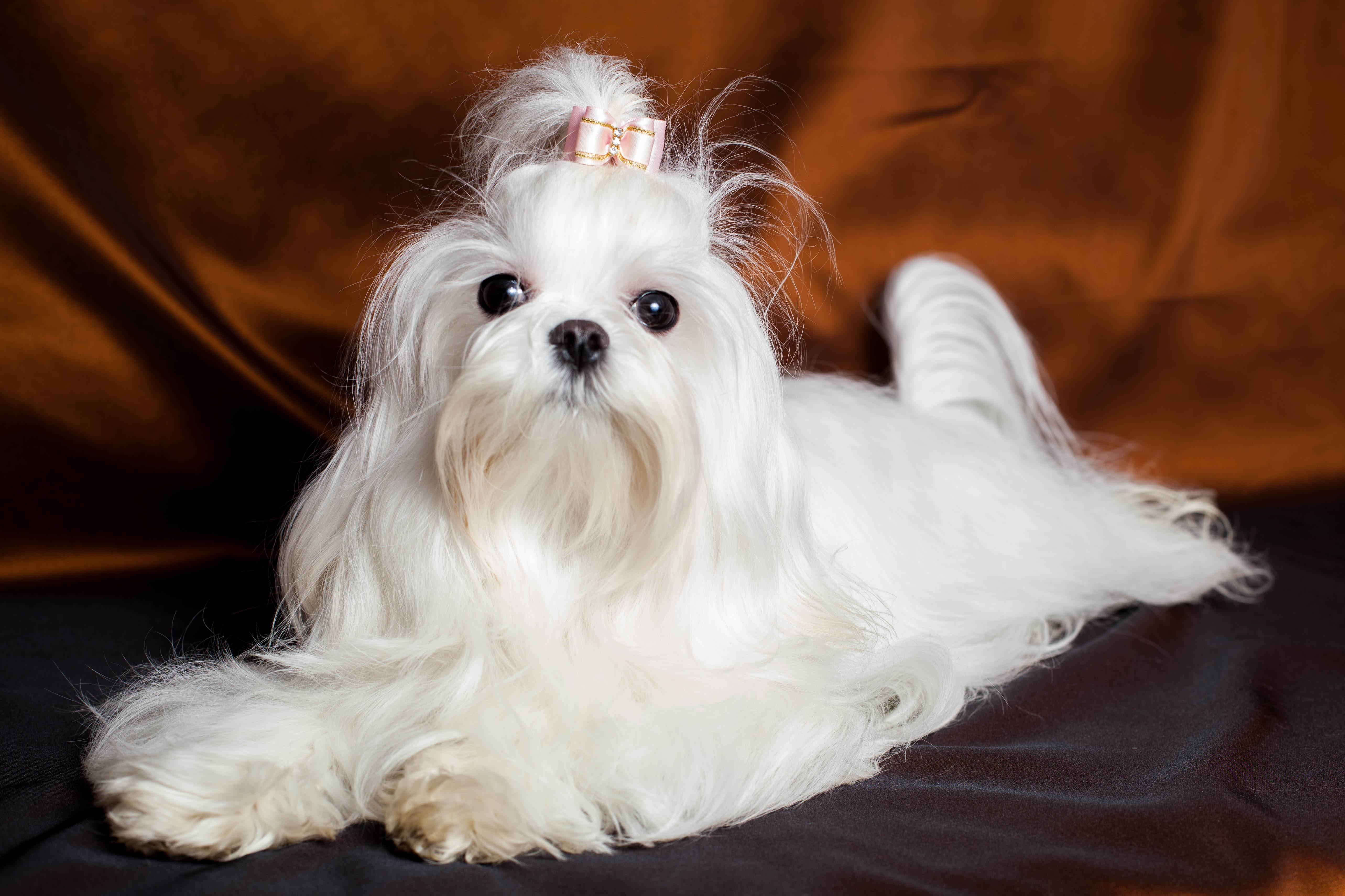 Болонка: описание породы, уход, фото собак