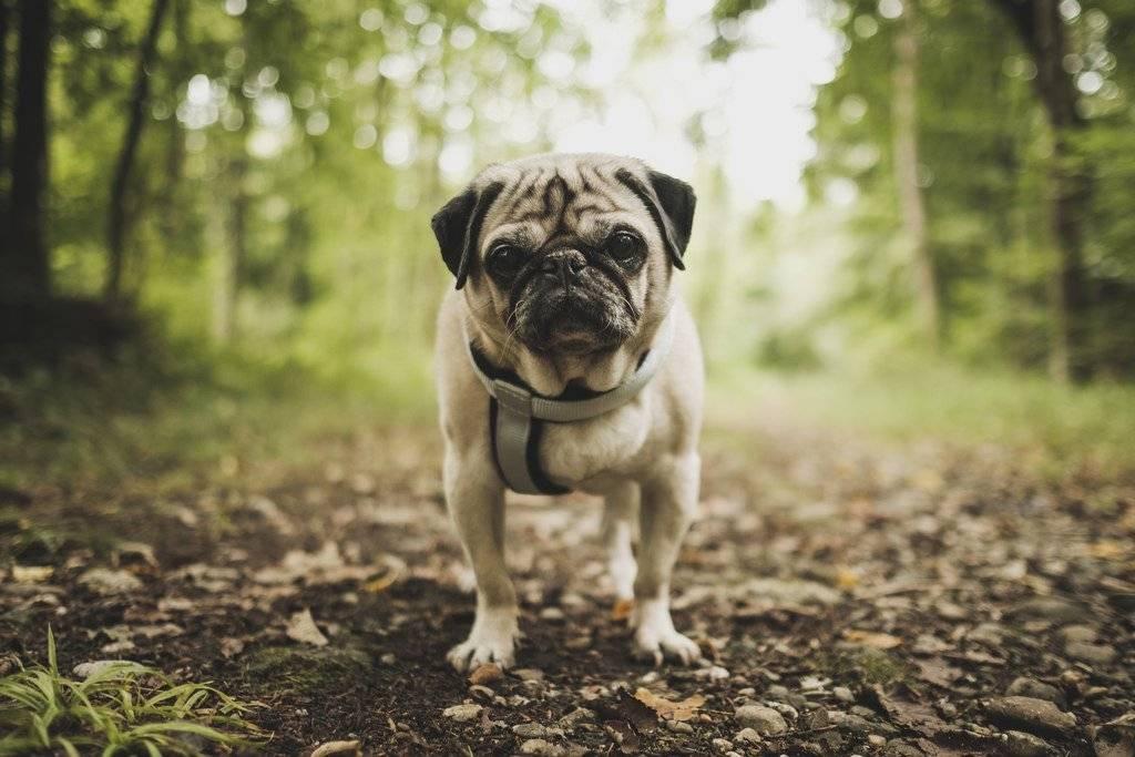 Мопс: фото представителей породы, характеристики собаки, все об уходе
