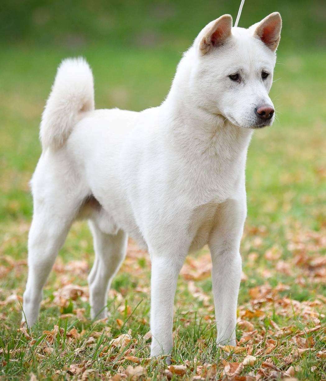 Новогвинейская поющая собака: описание породы с фото и видео