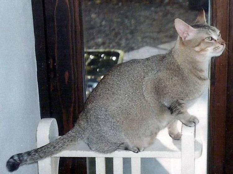 Цейлонская порода кошек: описание — наши лапки