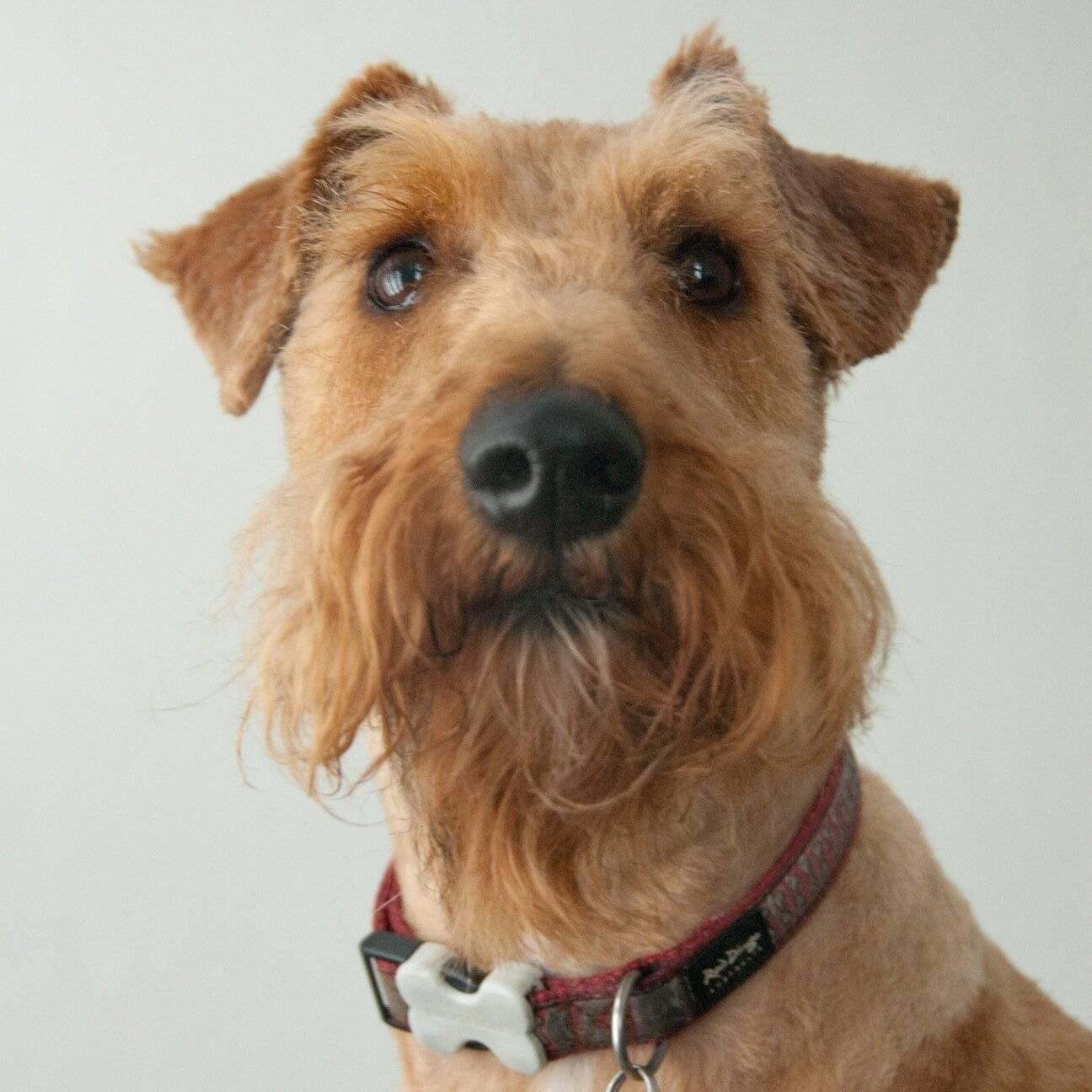 Ирландский терьер (55 фото): описание породы, характер щенков. схемы тримминга собак. отзывы владельцев