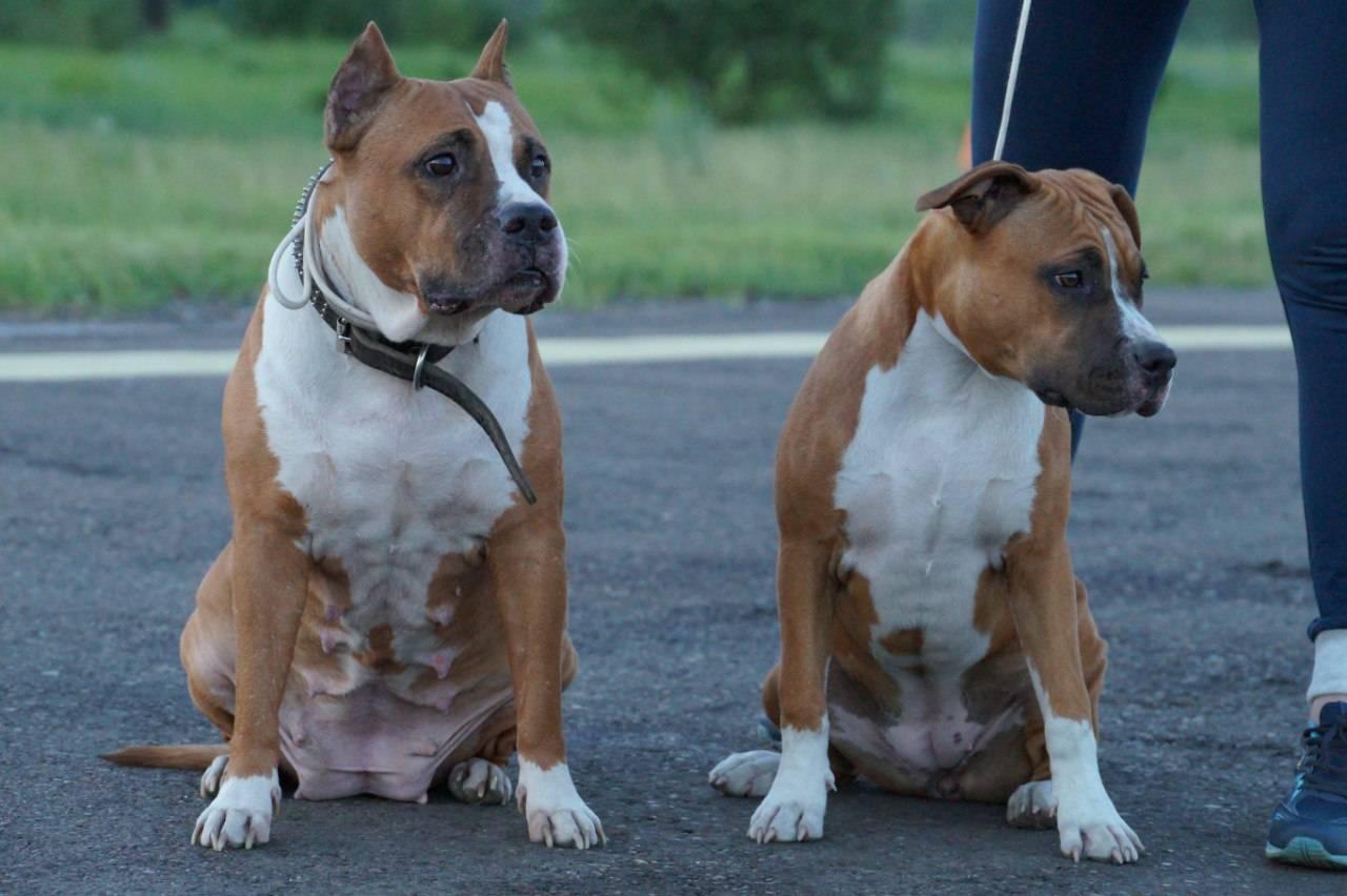 Стаффордширский бультерьер: все о собаке, фото, описание породы, характер, цена
