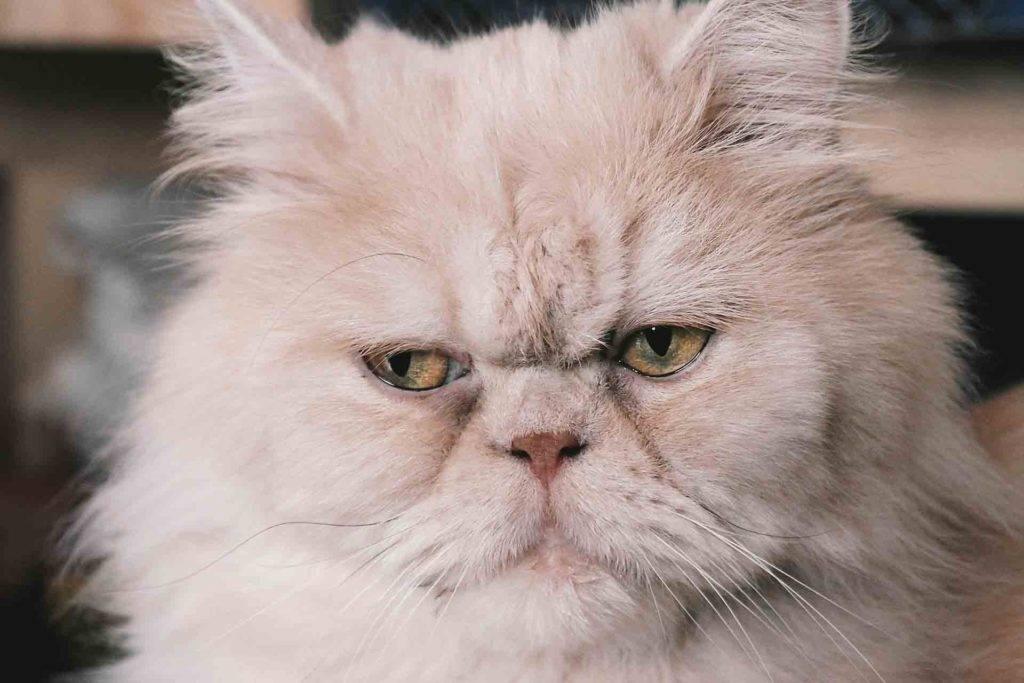 Персидские кошки - фото и описание (характер, уход и кормление)
