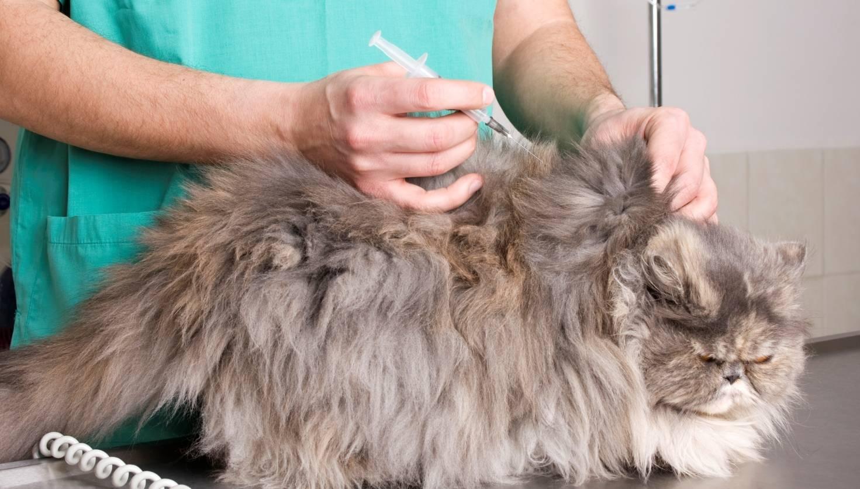 Глюкоза у кошек – опасны ли отклонения от нормы