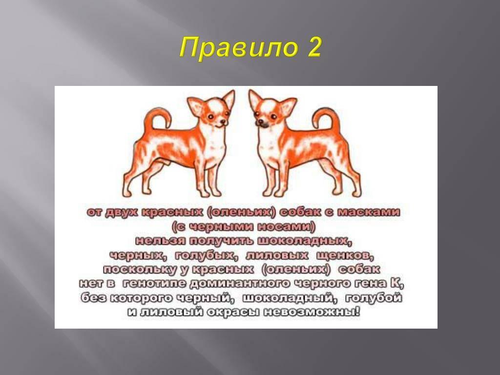 Все о собаке мини чихуахуа * описание породы, уход и содержание
