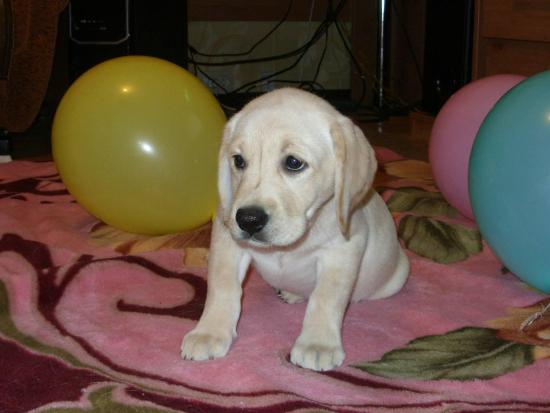 Клички для собаки девочки лабрадора - мой пёс