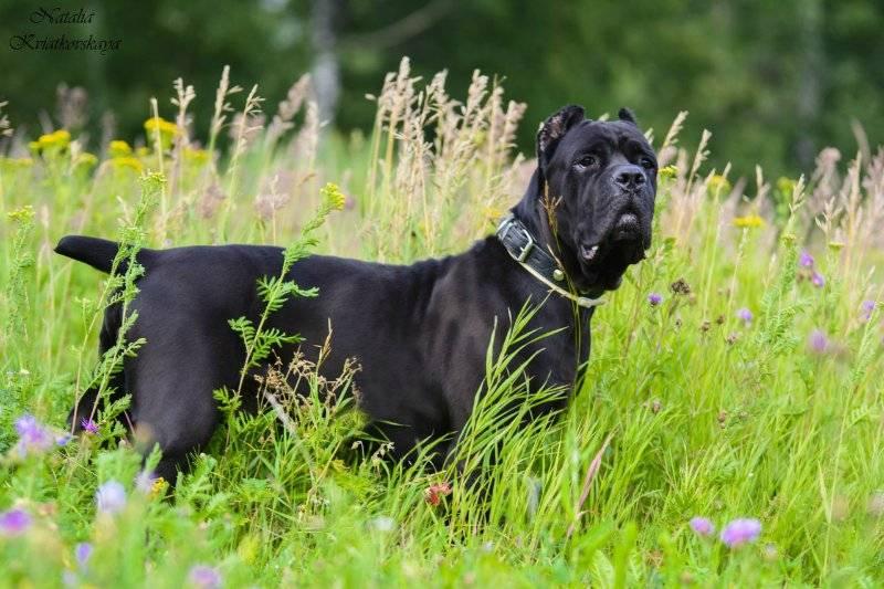 Итальянский кане корсо описание породы собак, фото и видео материалы, отзывы о породе