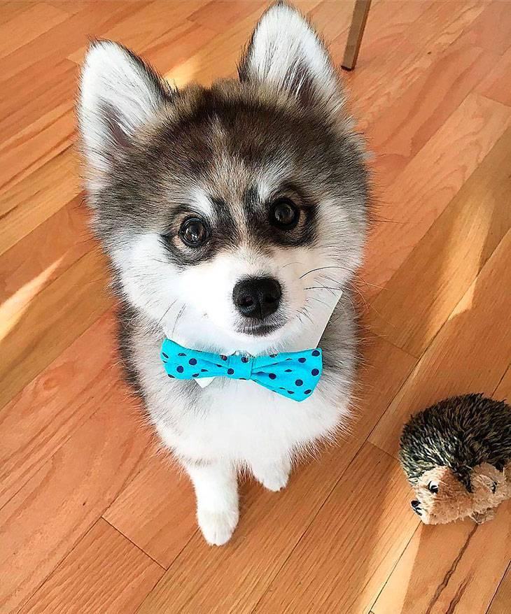 Помски - помесь сибирской хаски и померанского шпица | собачий блог