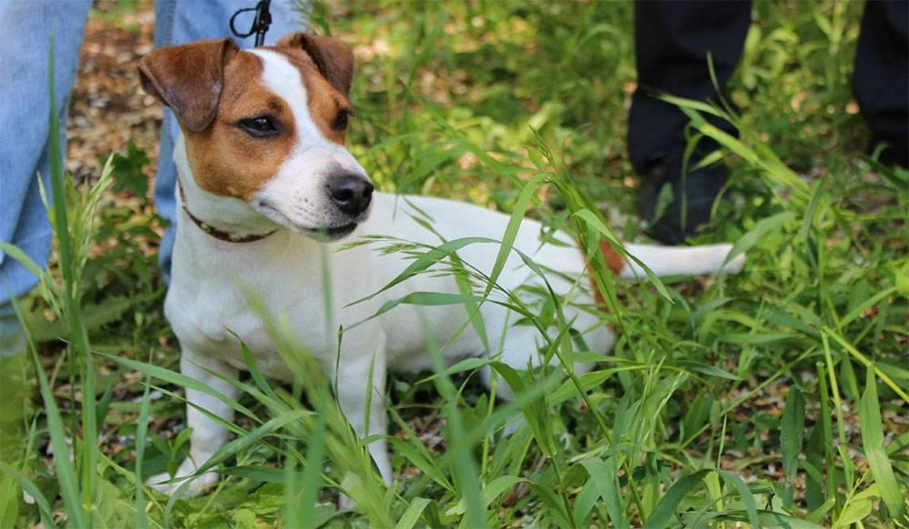 Жесткошерстный джек-рассел-терьер: особенности характера и правильный уход за собакой